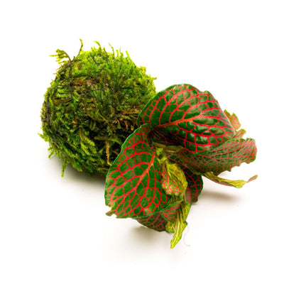 Fittonia Albivenis On Clay Moss Ball - BucePlant.com