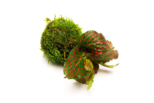Fittonia Albivenis On Clay Moss Ball