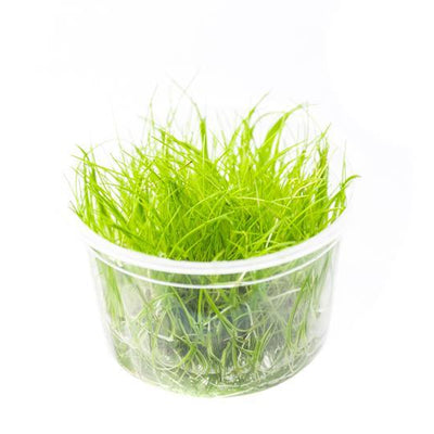 Hair Grass Tissue Culture
