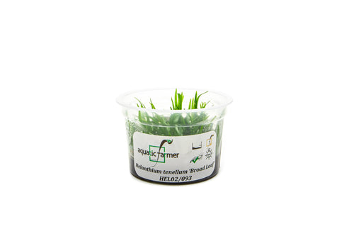 Helanthium Tenellum Broad Leaf  Aquatic Farmer Tissue Culture - BucePlant.com