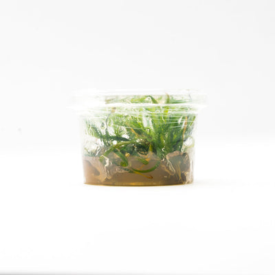 Helanthium Vesuvius Aquatic Farmer Tissue Culture