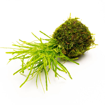 Hemigraphis Repanda Green on Clay Moss Ball - BucePlant.com