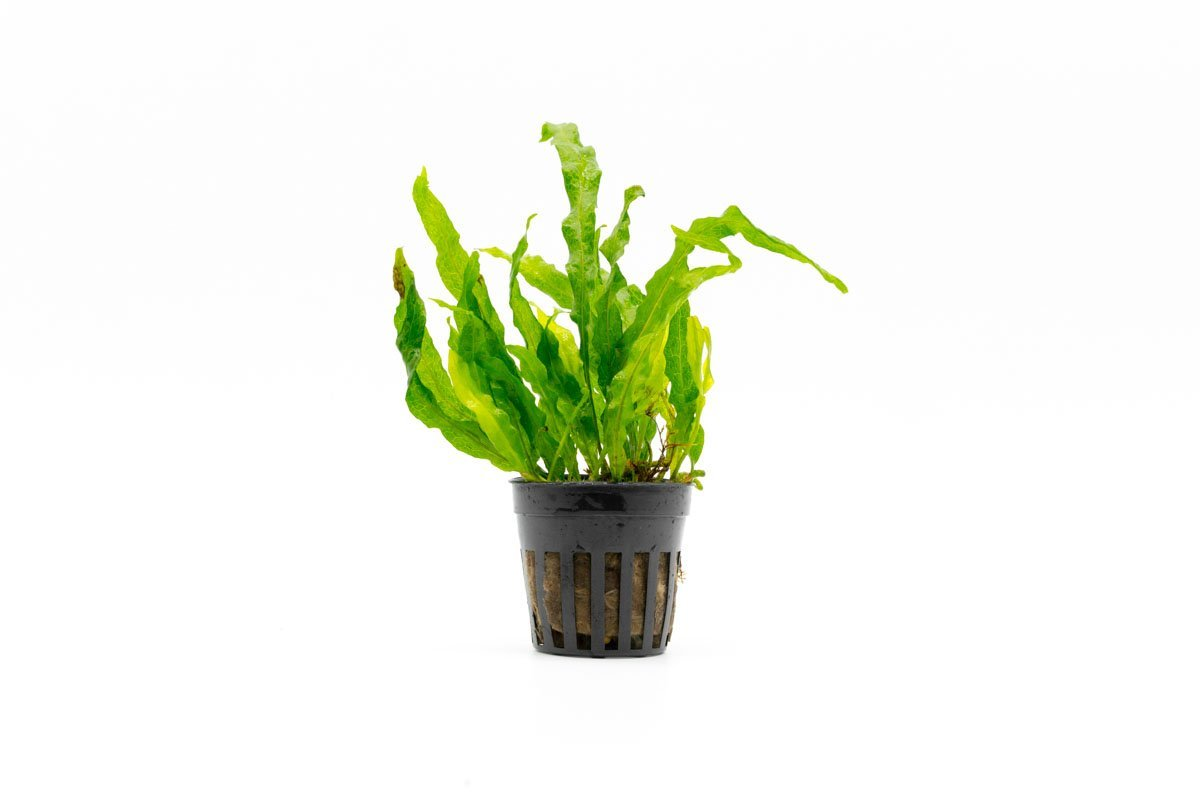 Java Fern Flaming