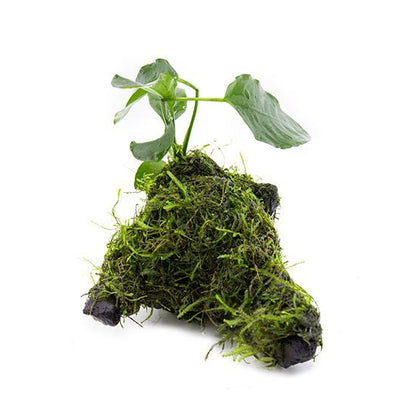 Java Moss and Anubias Barteri on Driftwood - BucePlant.com