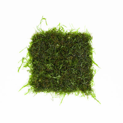 Java Moss on Stainless Steel