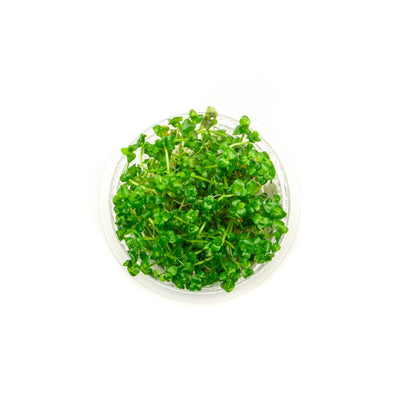Lindernia Rotundifolia Aquatic Farmer Tissue Culture - BucePlant.com