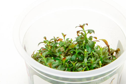 Ludwigia Repens Aquatic Farmer Tissue Culture - BucePlant.com