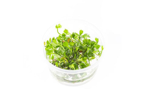 Marsilea Hirsuta Aquatic Farmer Tissue Culture