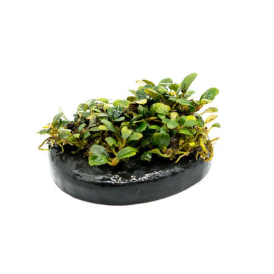 Mini Bucephalandra on Stone - BucePlant.com