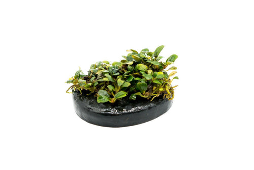 Mini Bucephalandra on Stone Aquarium Plant Decor