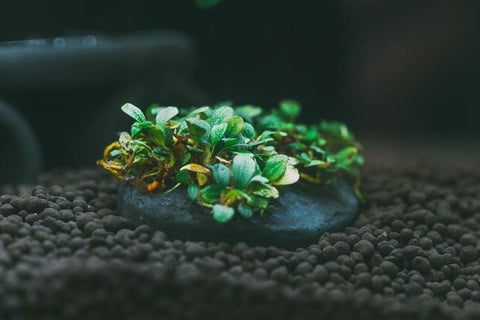 Mini Bucephalandra on Stone