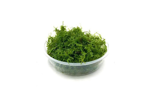 Mini Christmas Moss - Buce Plant