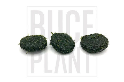 Moss 3 Pack Fissidens on Stone
