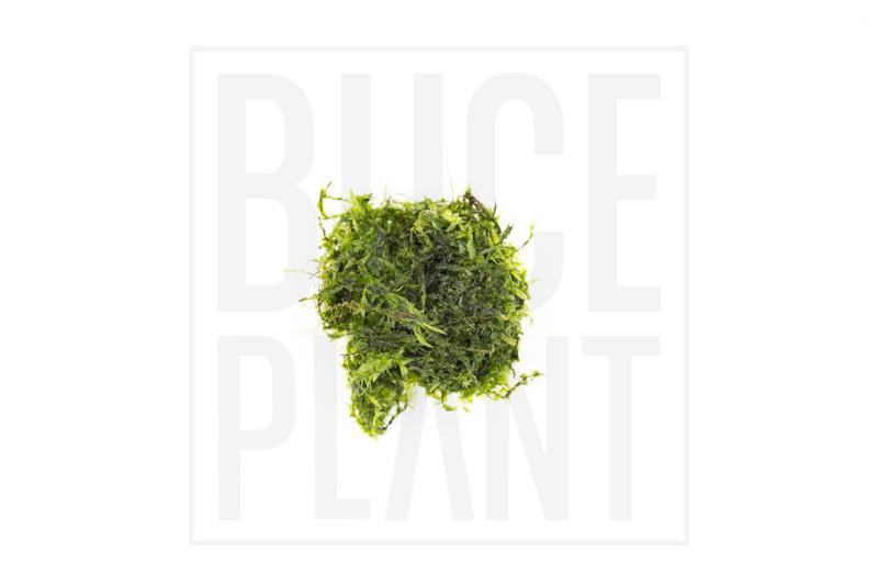 Willow Moss - Buce Plant