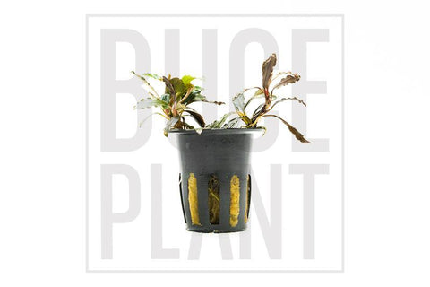 Motleyana Silver Powder Buce Plant Private Collection