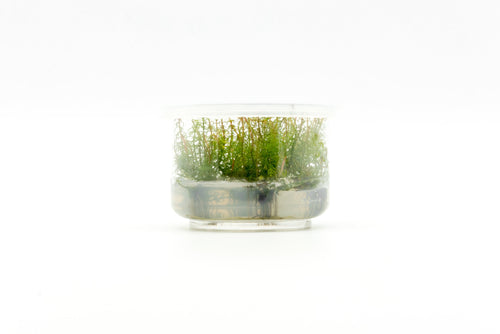 Myriophyllum Mattogrossense Red Tissue Culture