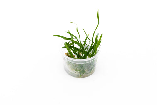 Ophiopogon Japonicus Aquatic Farmer Tissue Culture