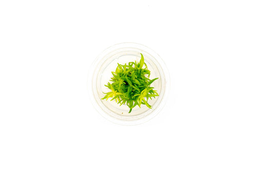 Pogostemon Erectus Tissue Culture (small cup) - BucePlant.com