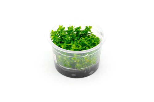 Rotala (Ammania) Bonsai UNS Tissue Culture