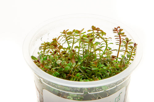 Rotala H'ra Aquatic Farmer Tissue Culture - BucePlant.com