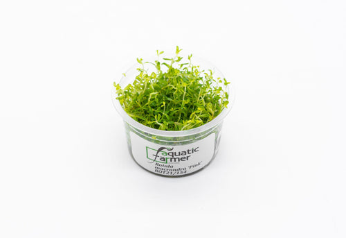 Rotala Macrandra Pink Aquatic Farmer Tissue Culture