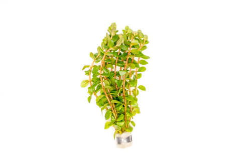 Rotala Narrow Leaf Sp. Red - BucePlant.com