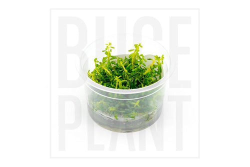 Rotala Rotundifolia Aquatic Farmer Tissue Culture