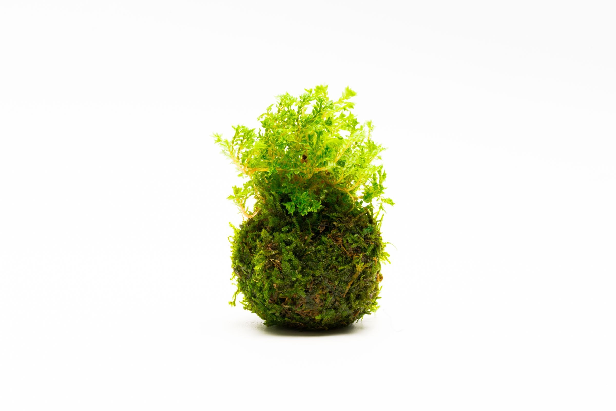 Selaginella Indonesia On Clay Moss Ball