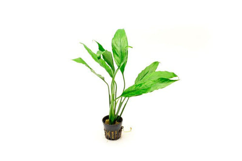 Spathiphyllum Wallisii - Peace Lily - BucePlant.com