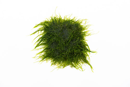 Spiky Moss on Stainless Steel - Buce Plant