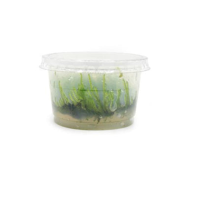 Spikey Moss Tropica 1-2-Grow! Tissue Culture