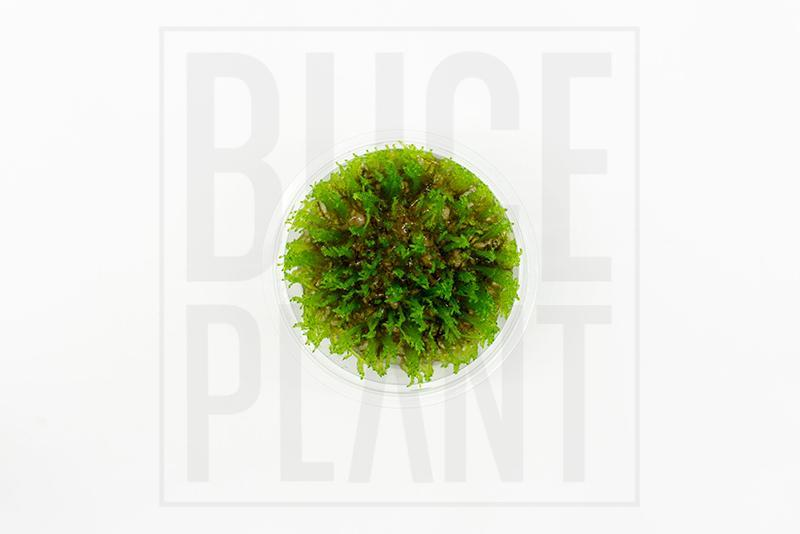 Taiwan Moss Tropica 1 2 Grow Tissue Culture Buce Plant