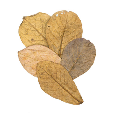 Tantora Medium Catappa Indian Almond Leaves - 50 Pack - BucePlant.com