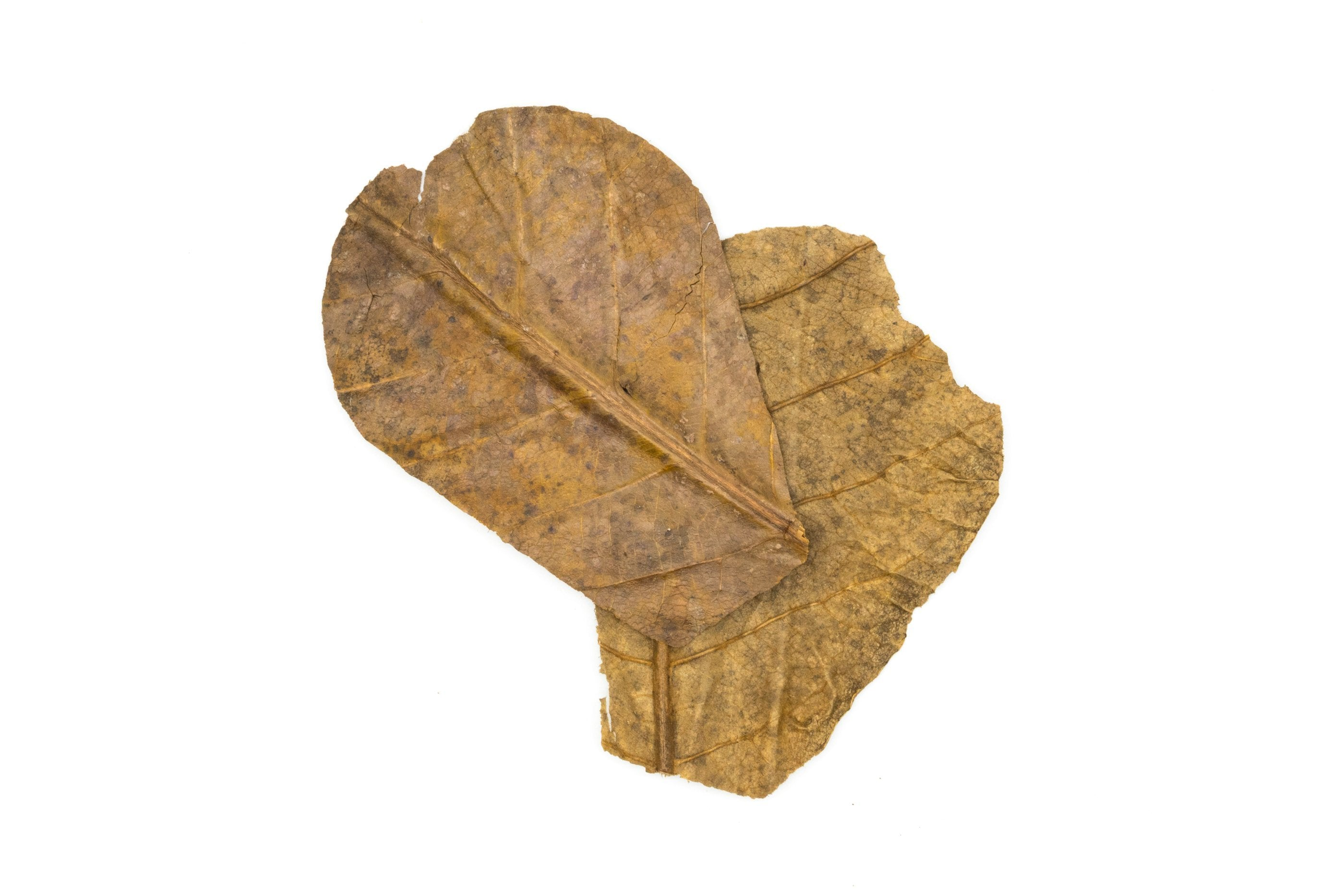 Tantora Nano Catappa Indian Almond Leaves - 15 Pack - BucePlant.com