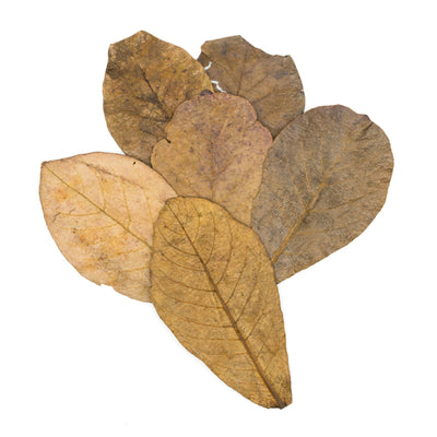 Tantora XL Catappa Indian Almond Leaves - 10 Pack - BucePlant.com