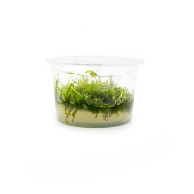 Weeping Moss Tropica 1-2-Grow! Tissue Culture