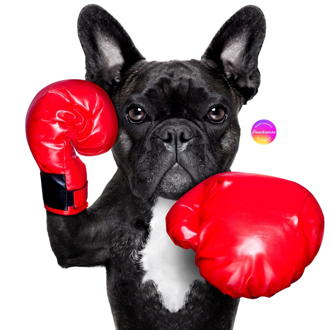 AGGRESSIVE AND DOMINANT FRENCHIE WITH BOXER GLOVES