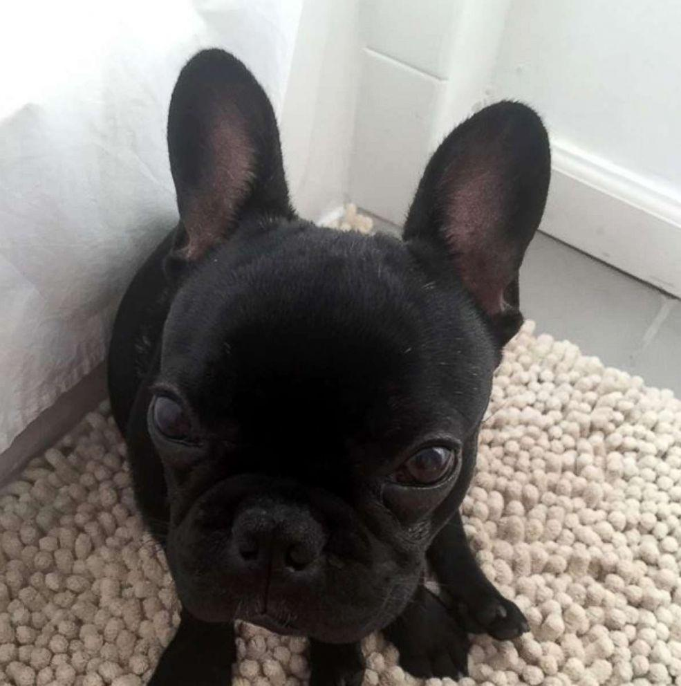 A French Bulldog dies on United Airlines flight after being forced into overhead bin