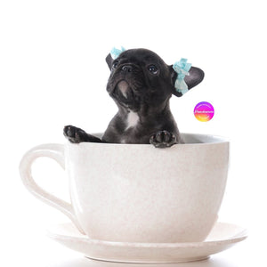 Mini / micro / teacup French Bulldog of rare colors tri lilac with tan points. Frenchie sitting in a tea cup mug