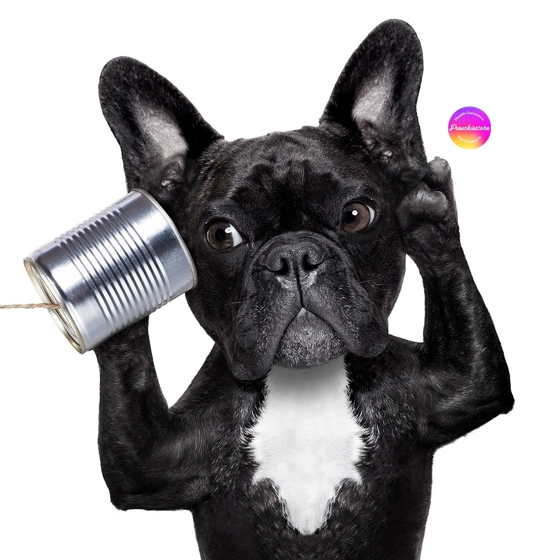 BLACK DEAF FRENCHIE HOLDING A CAN TO HIS EAR AND TRYING TO LISTEN