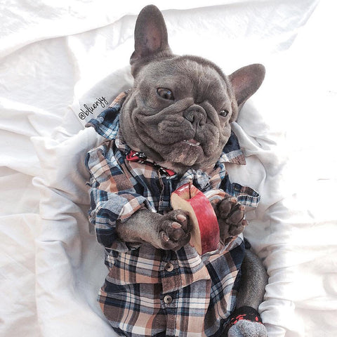 Blue Frenchie named Bluenjy holding an apple with his paws