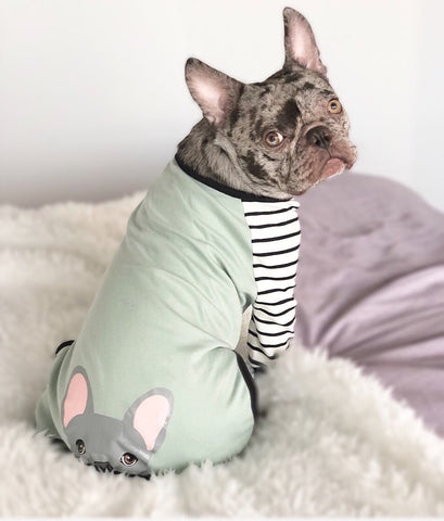 seltene blaue Merle Frenchie Frenchiestore