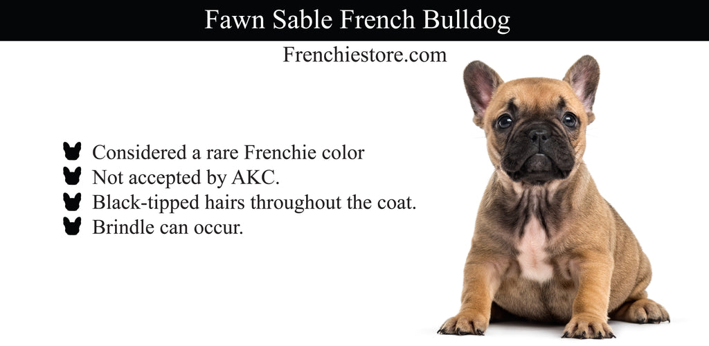Fawn Sable Frenchie Hund Frenchiestore.com