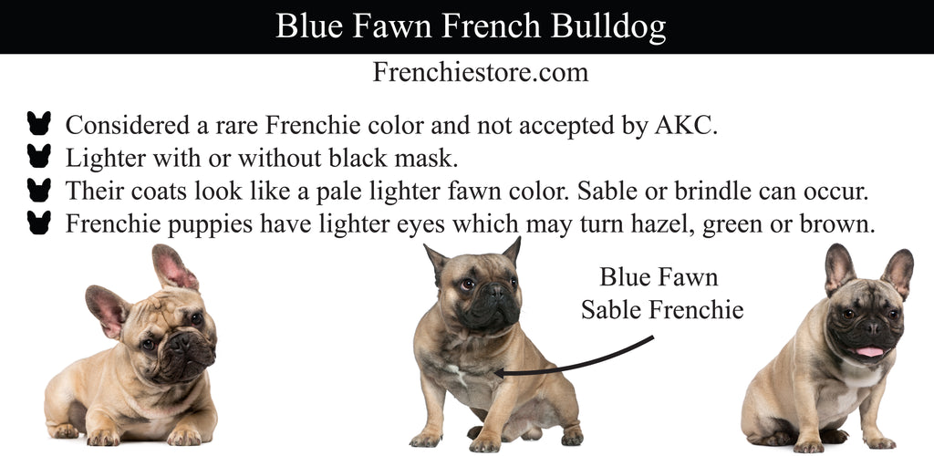 Blue Fawn法國鬥牛犬Frenchiestore.com