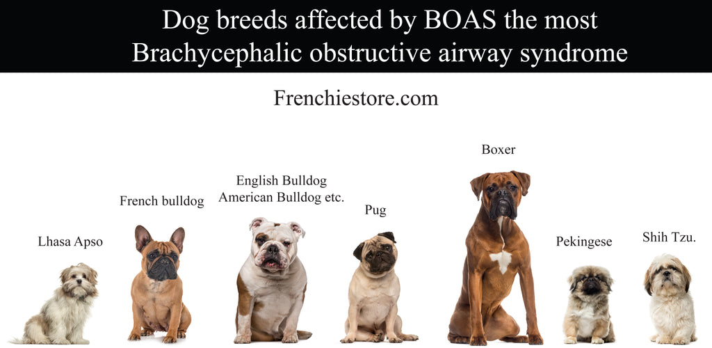 dog breeds affected by boas the most Frenchiestore