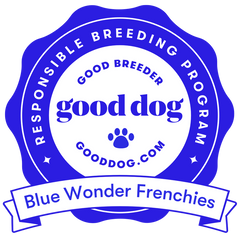responsible breeding program french bulldog breeder blue wonder frenchies