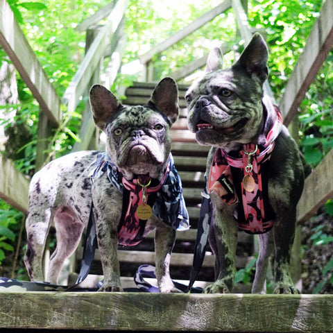 merle frenchies dogs hiking wooded trail forest backpacking frenchiestore tips