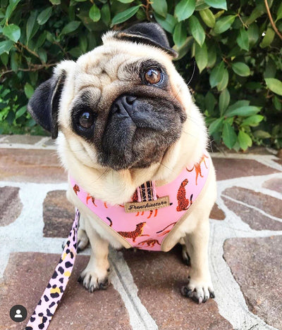 Pug dog reversible health harness