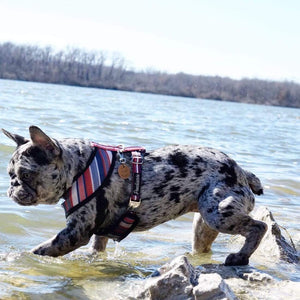 Rare Merle French Bulldog playing in the water wearing best Frenchie harness with dual d rings and metal breakaway buckles