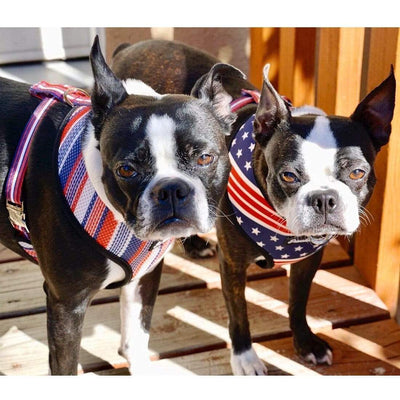 2 Boston Terrier dogs wearing frenchiestore dog harness with breakaway metal buckles